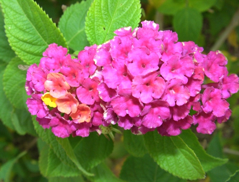 poisonous plants for dogs in the southeast Lantana