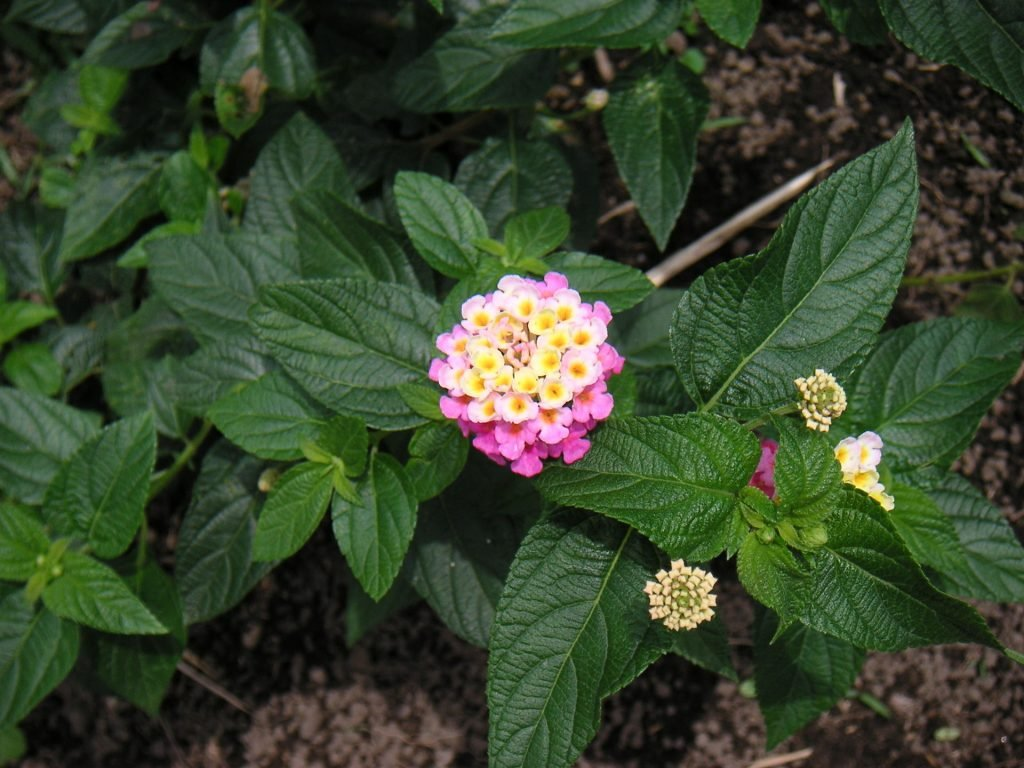 poisonous plants for dogs in the southwest lantana