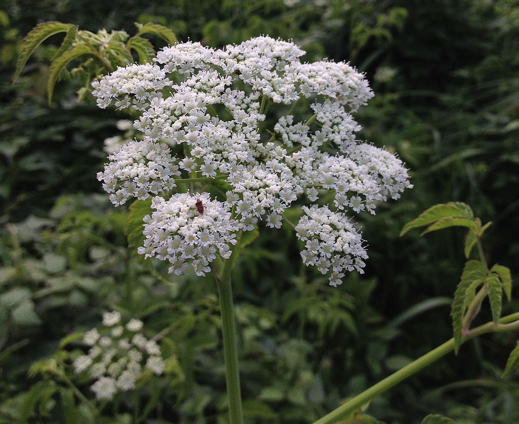 poisonous plants for dogs in the midwest water hemlock