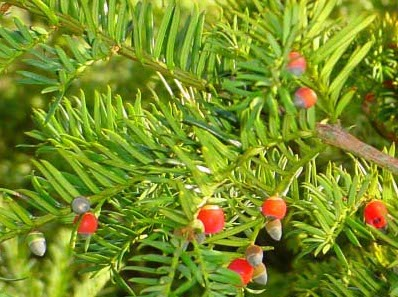 poisonous trees for dogs in the midwest western yew