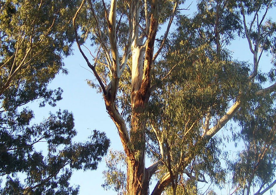 poisonous trees for dogs in the southwest eucalyptus