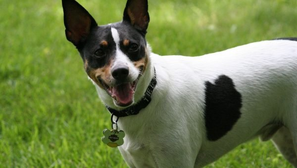 7 Facts that Rat Terrier People Know by Heart