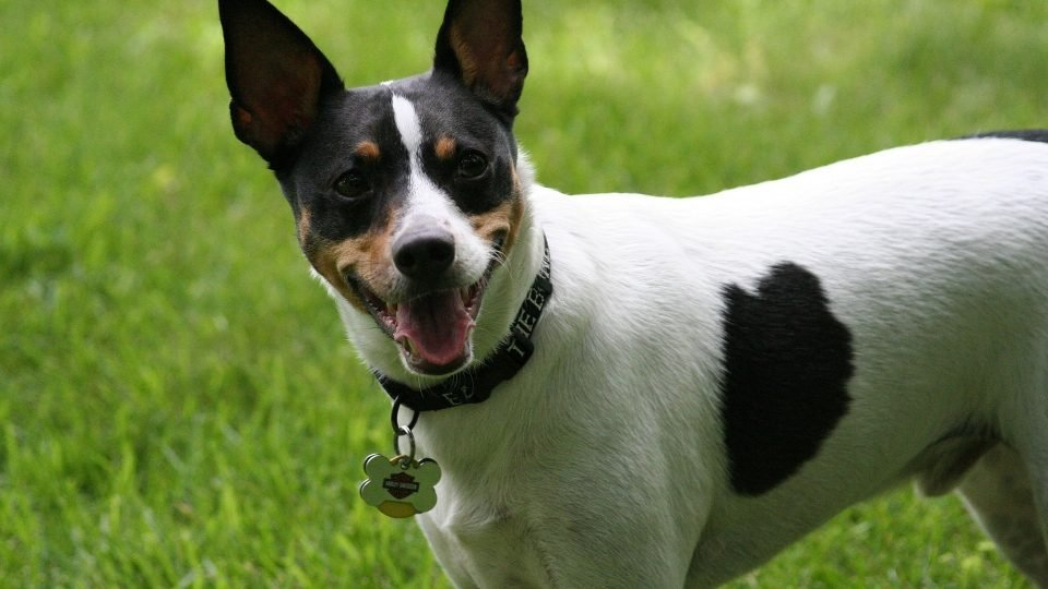 7 Facts That Rat Terrier People Know By Heart The Dog People By