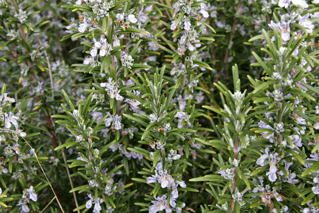 safe non toxic plants for dogs in the southwest rosemary