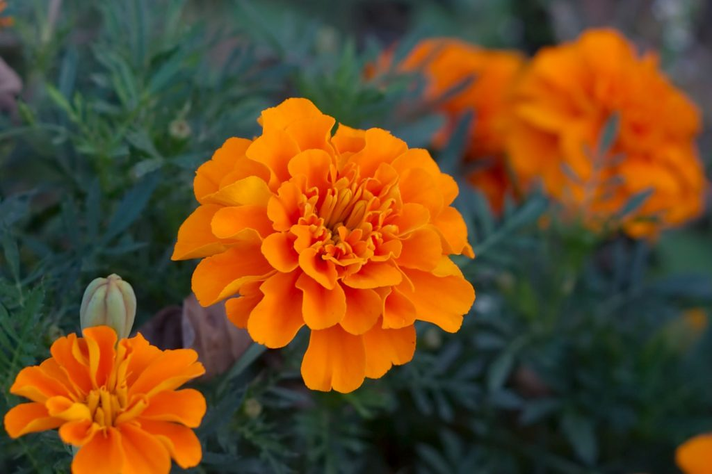 safe plants for dogs in the midwest marigolds