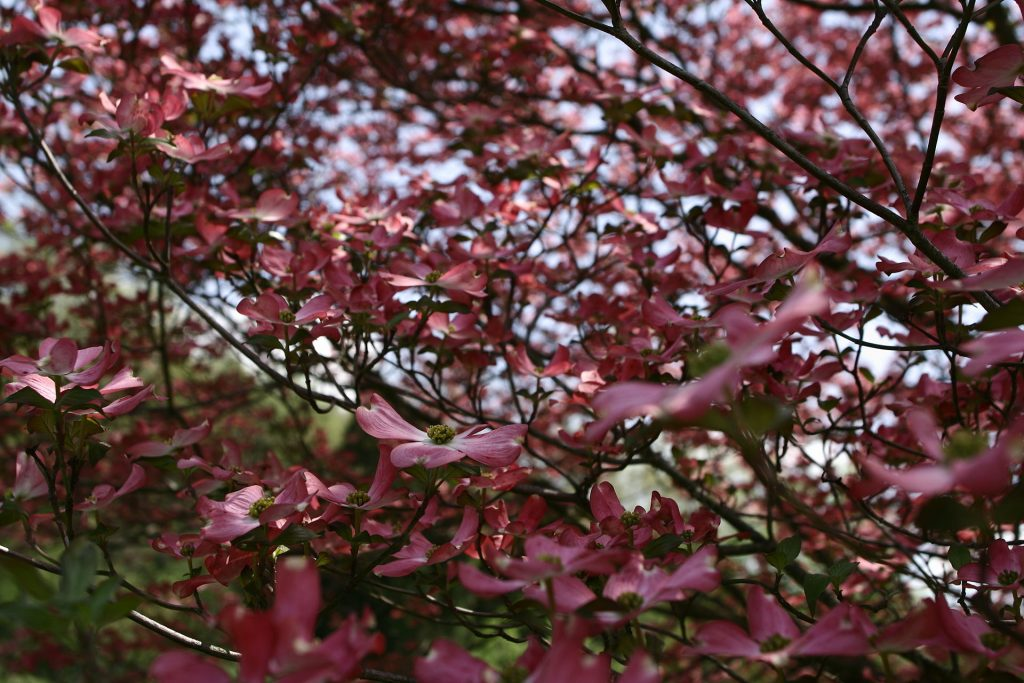 safe trees for dogs in the southeast flowering dogwood tree