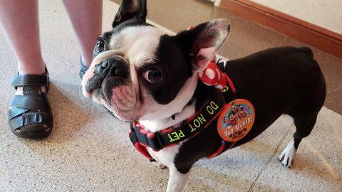 service dog boston terrier at disneyland receiving first visit pin