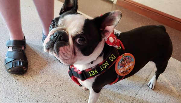 Boston Terrier Service Dog Trained for a Year for Disneyland Trip with Disabled Boy