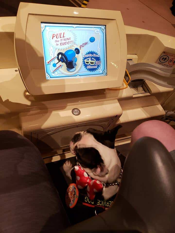 Boston Terrier Service Dog Trained for a Year for Disneyland