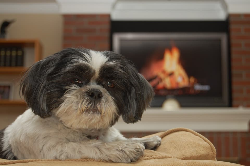 Shih Tzu by the fire