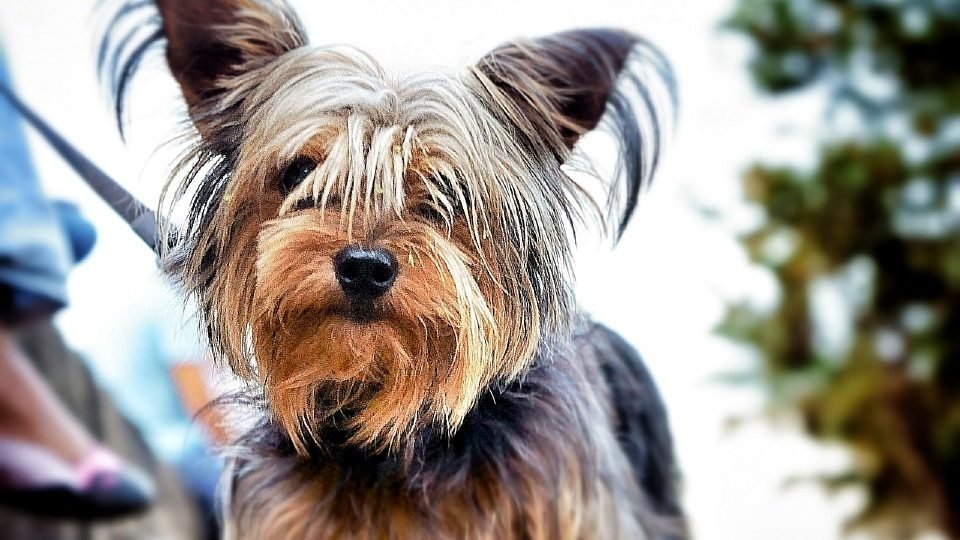 Silky Terrier Vs Yorkshire