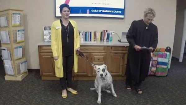 Rescued Boxer Makes History with Job Comforting Foster Kids in the Courtroom