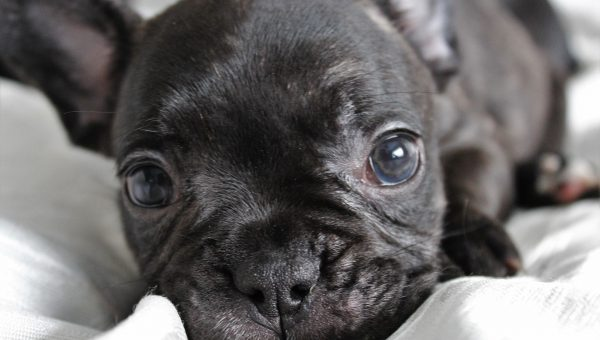 French Bulldog Puppies: Everything You Need to Know