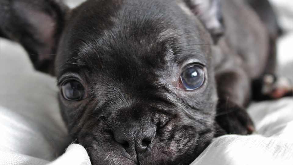 French Bulldog Puppies Everything You Need To Know The Dog People