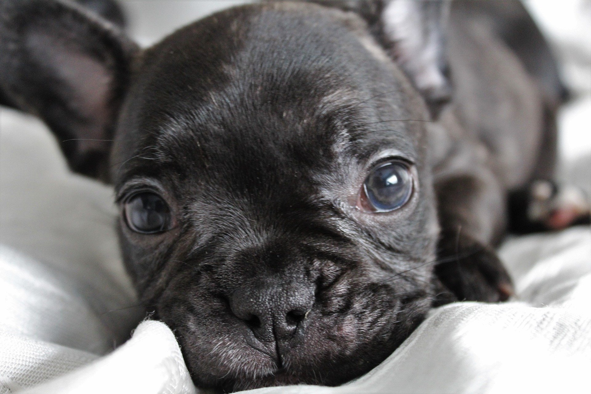 French Bulldog Puppies: Everything You Need to Know | The Dog People by  Rover.com