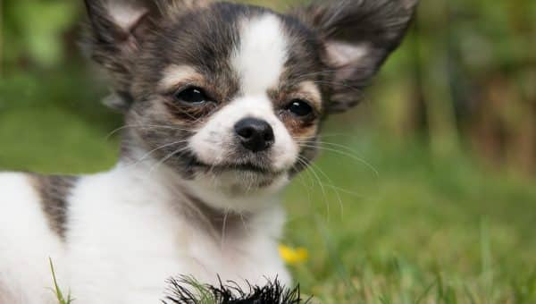 Chihuahua Puppies: Everything You Need to Know