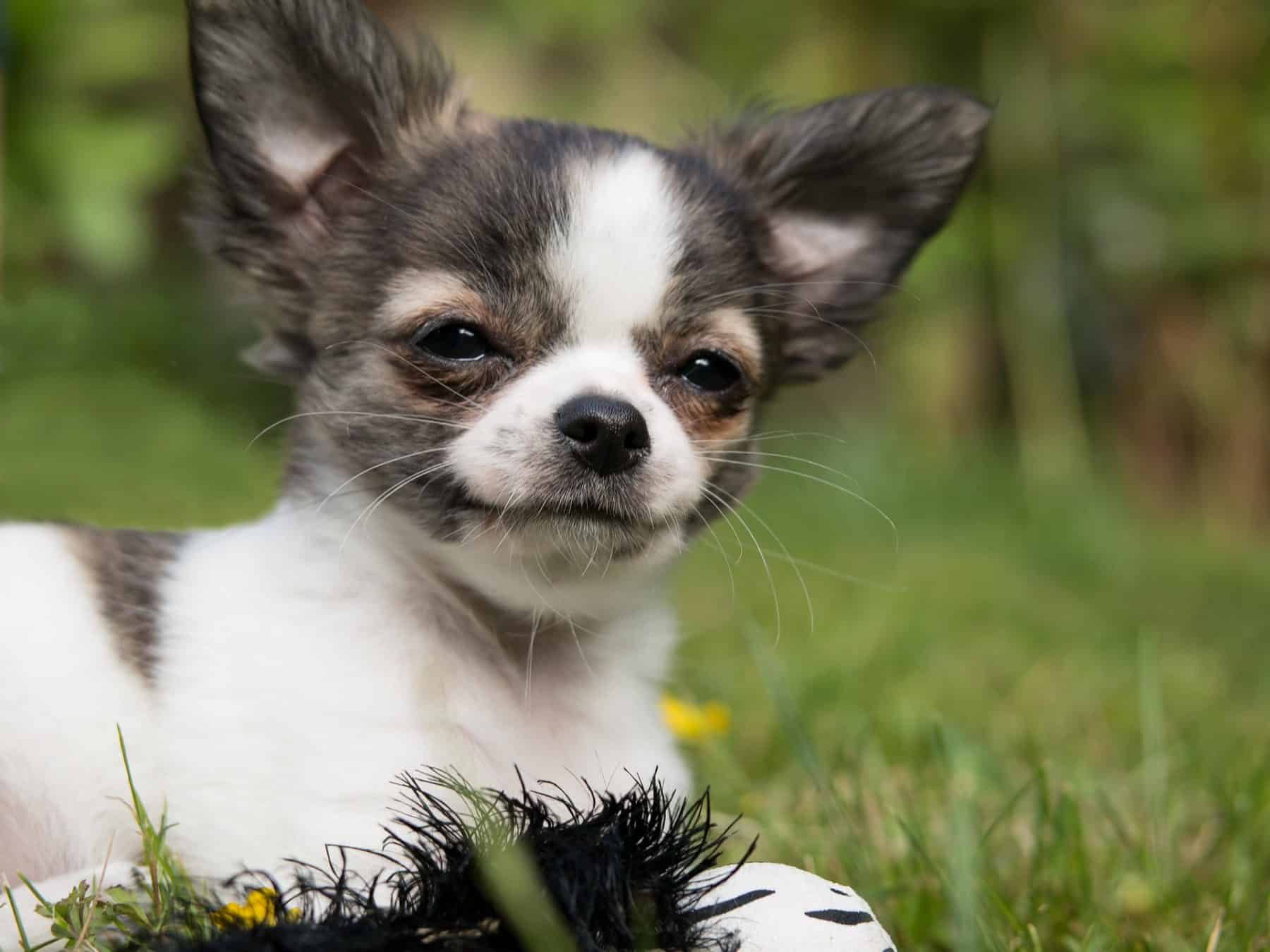 Chihuahua Puppies Chihuahua History Breed And How To Get A Puppy