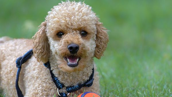 14 Best Poodle Gifts for Poodle Lovers