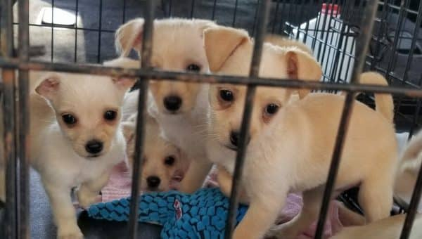Unwanted Chihuahuas Flown to Forever Homes in NYC Thanks to Unique Breed Rescue