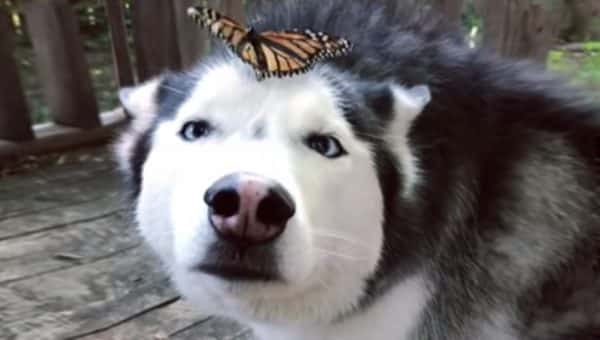 cymber husky butterfly face HERO