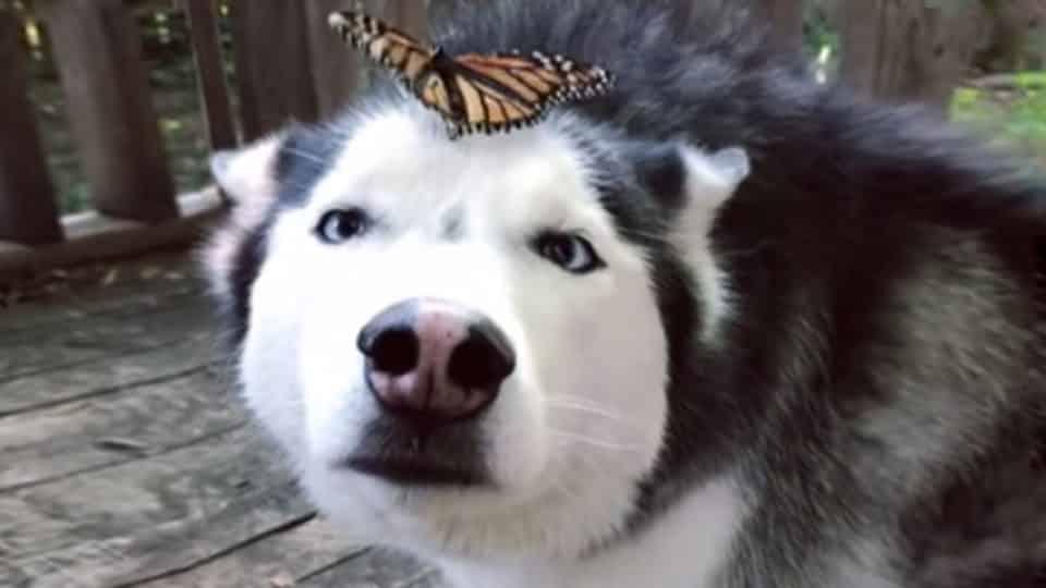 cymber husky butterfly face HERO