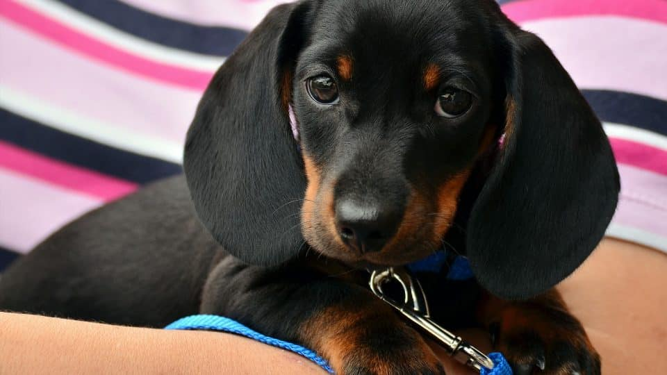 Dachshund Puppies Dachshund Puppy Facts And How To Get A Puppy