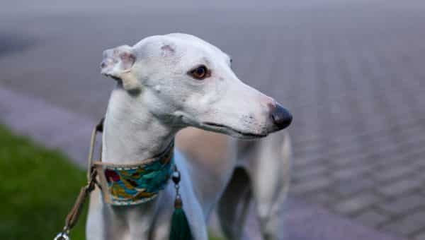 Martingale Dog Collars: How to Use Them and Which Are Best