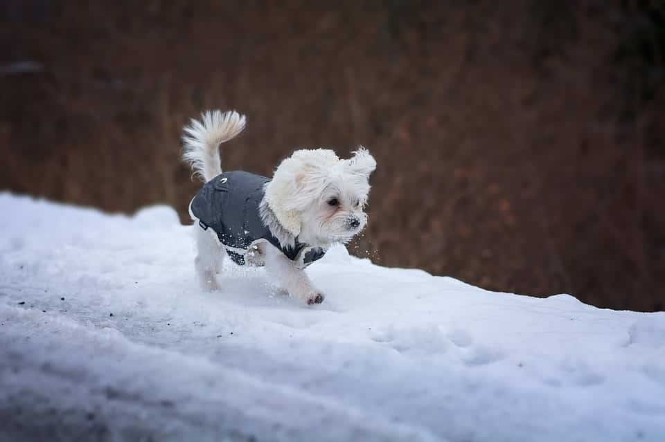 A small dog walks in the snow with a coat on.