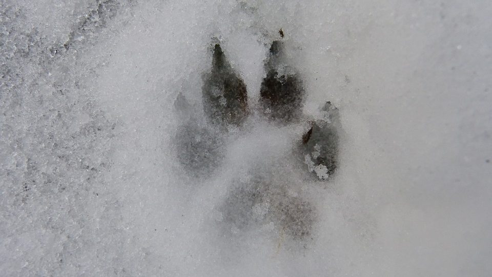 A dog paw print in the snow.