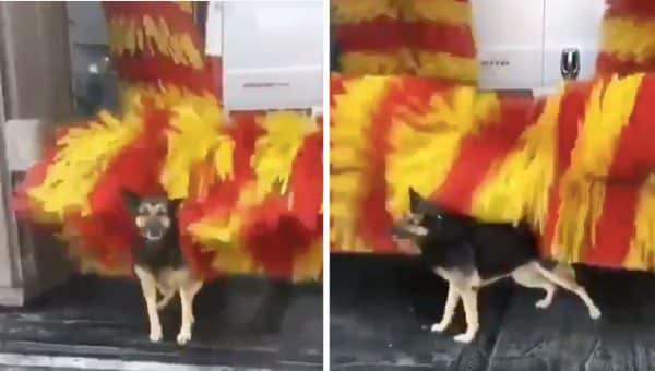 Clever German Shepherd Helps Herself to Free Spa Treatments at Car Wash [Video]
