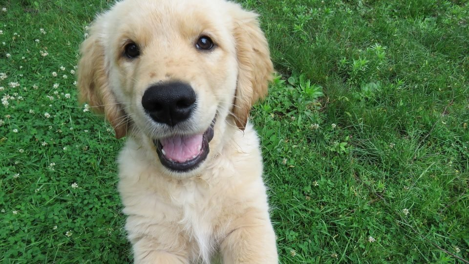251 Top Golden Retriever Names of 2018 Ranked by Popularity