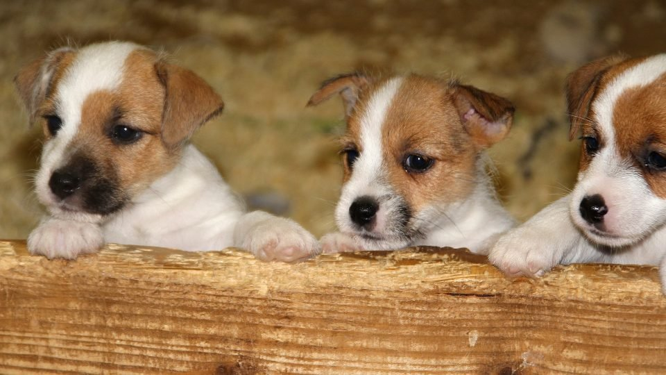 Jack Russell Terrier Puppies: Everything You Need to Know ...