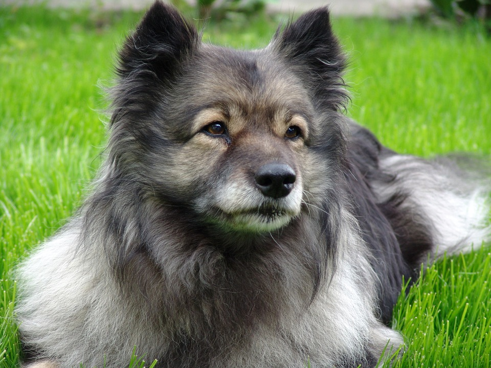 Keeshond in grass
