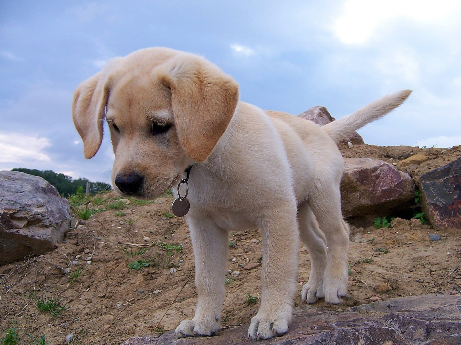 Labrador Retriever Puppies What You Need To Know About Lab