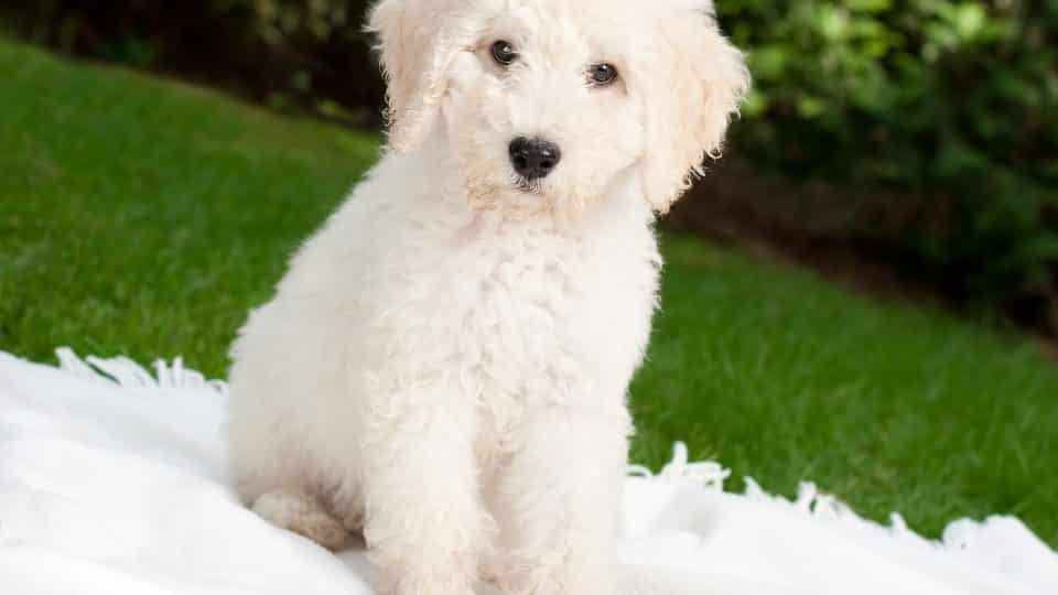 Labradoodle Puppies Everything You Need To Know The Dog
