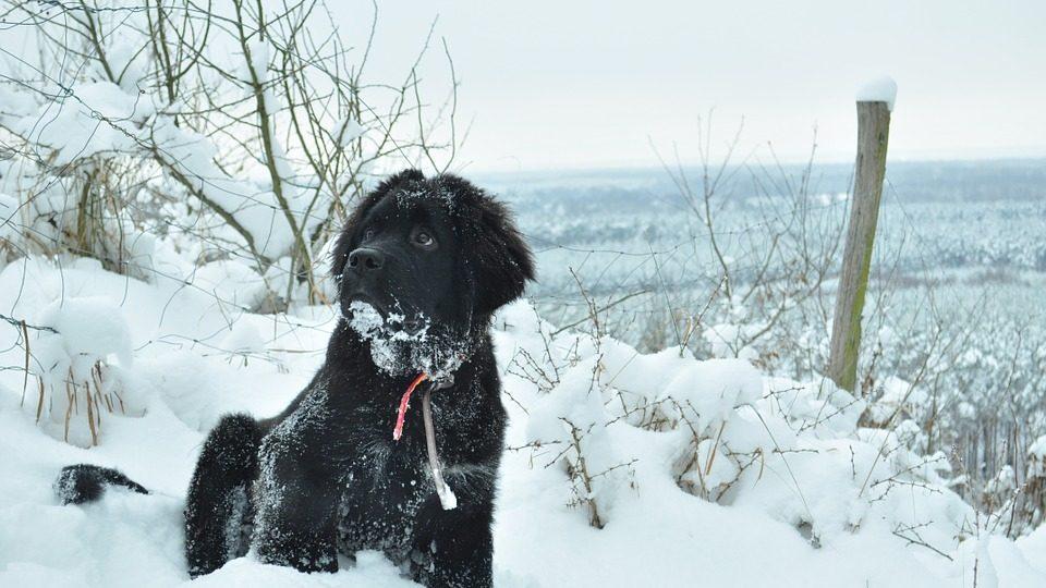 Newfoundland in snow