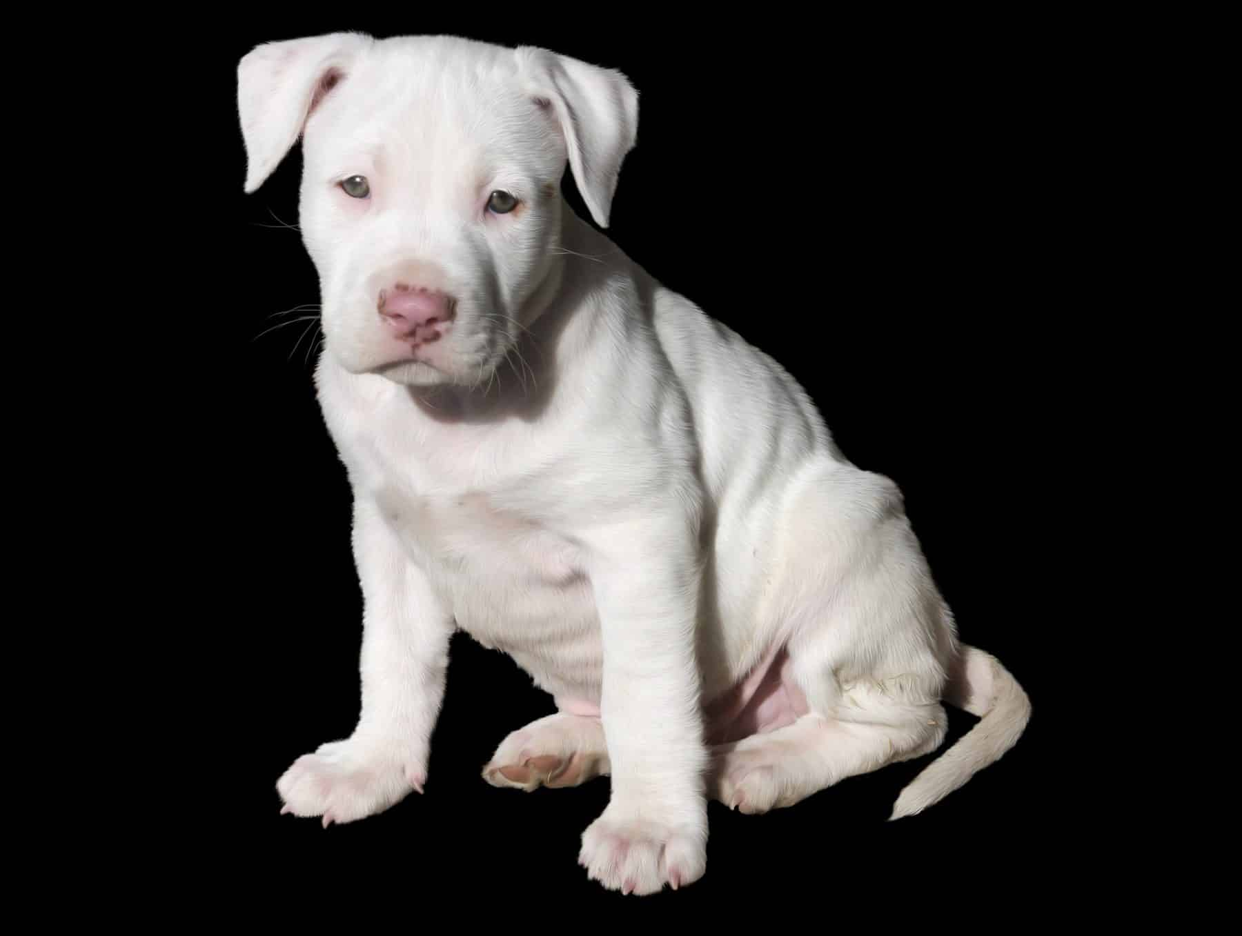Pit Bull Puppies: Everything You Need to Know | The Dog