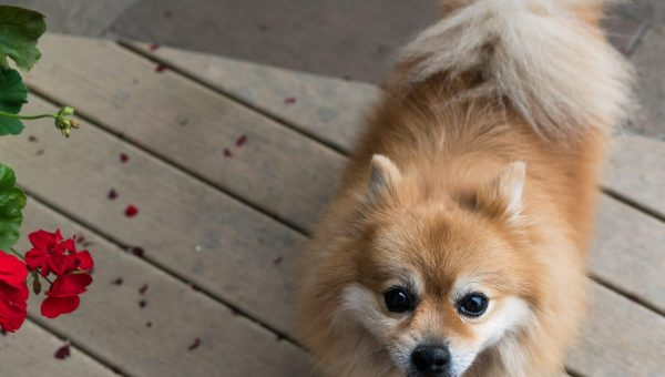 12 Best Gifts for Pomeranian Lovers
