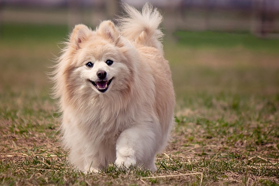Pomeranian outside