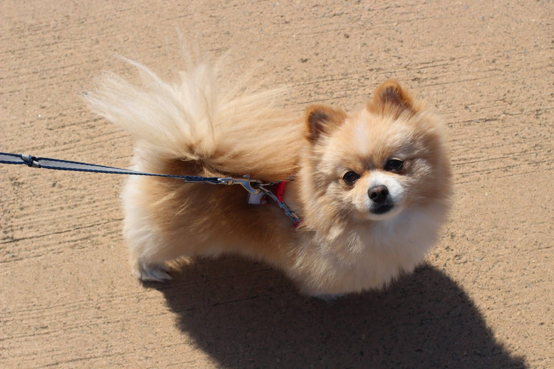 Pomeranian Puppies Everything You Need To Know The Dog People By Rover Com