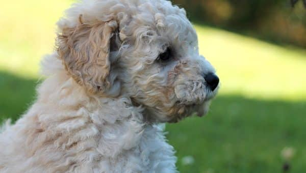 9 Facts Only Sheepadoodle People Understand | The Dog People by