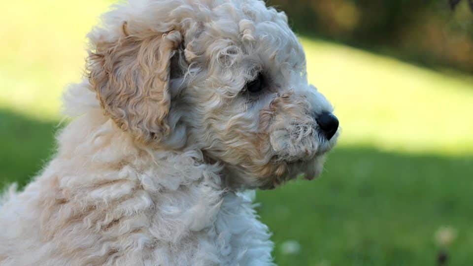 Poodle Puppies Everything You Need To Know The Dog People