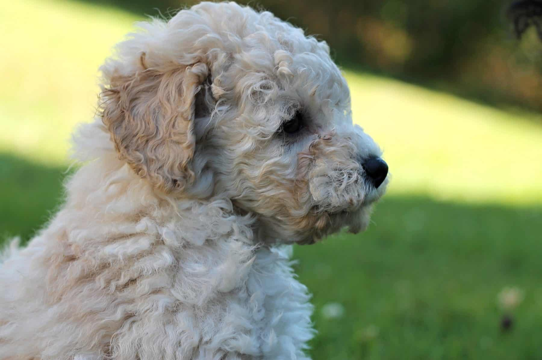 Poodle Puppies Everything You Need To Know The Dog People By Rover Com