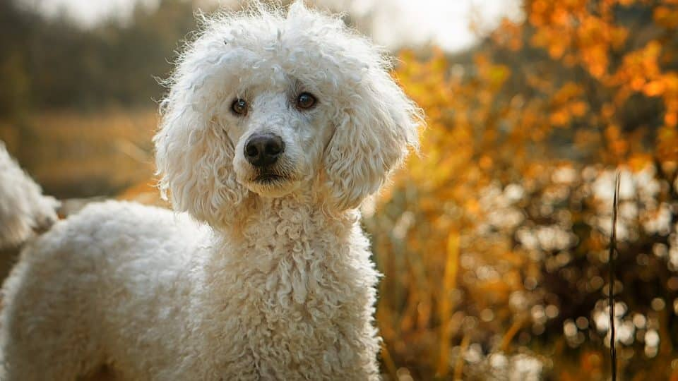 Here's Everything You Probably Don't Know About Poodles