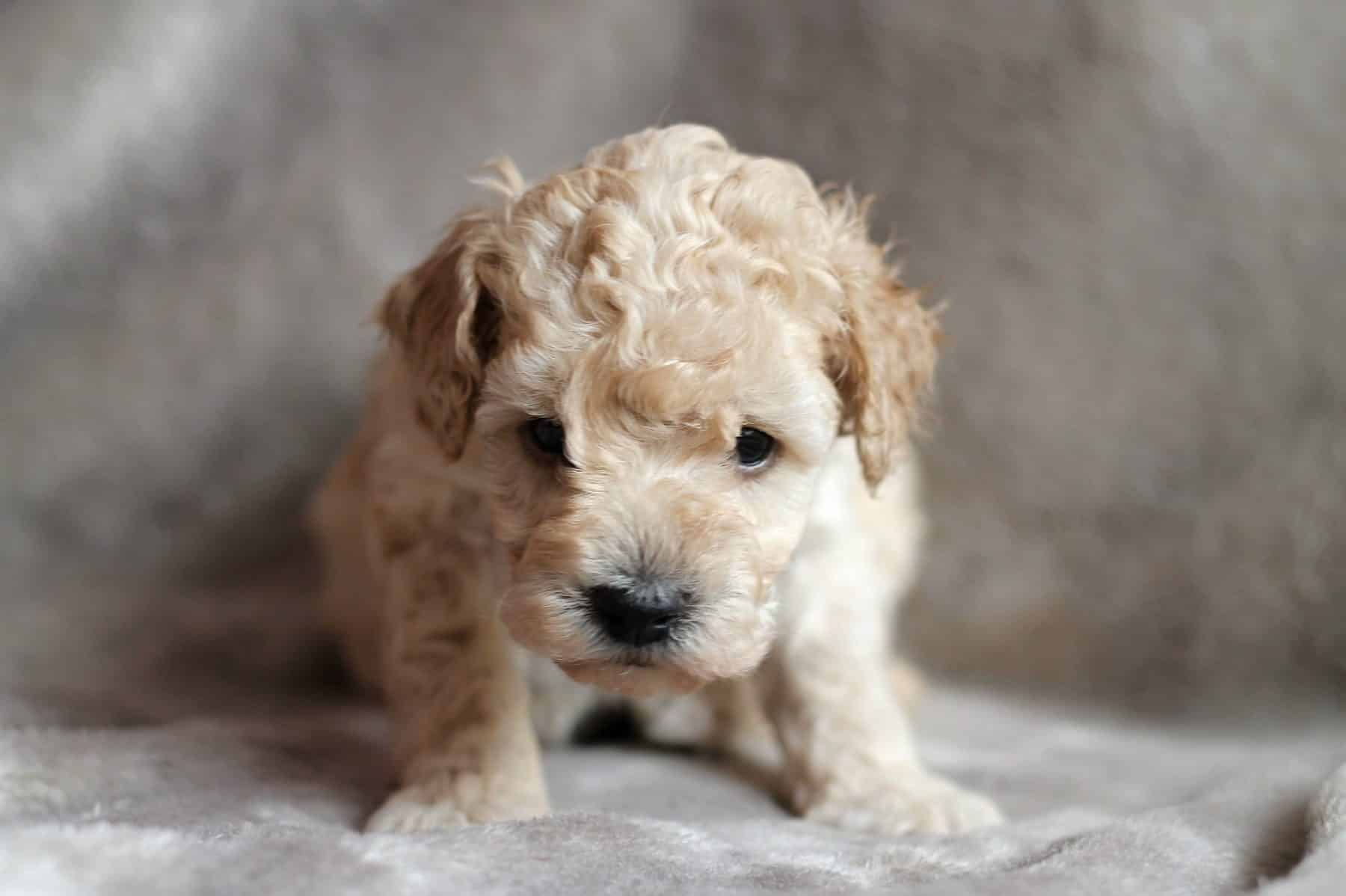 Poodle Puppies for sale in New Mexico USA