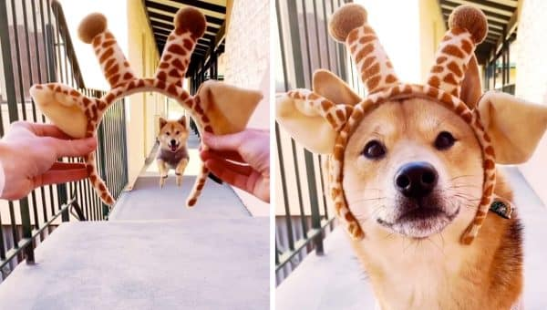 This Shiba Inu Skyrocketed to Fame with Sweetly Hilarious Giraffe Stunt