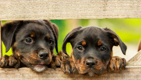 Rottweiler Puppies: Everything You Need to Know