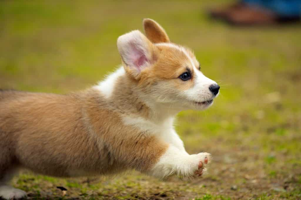 corgi puppy running learn to prevent corgi health problems