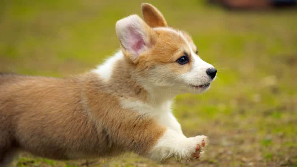Corgi Puppies Corgi Puppy Breed Facts Types And How To Get A Puppy