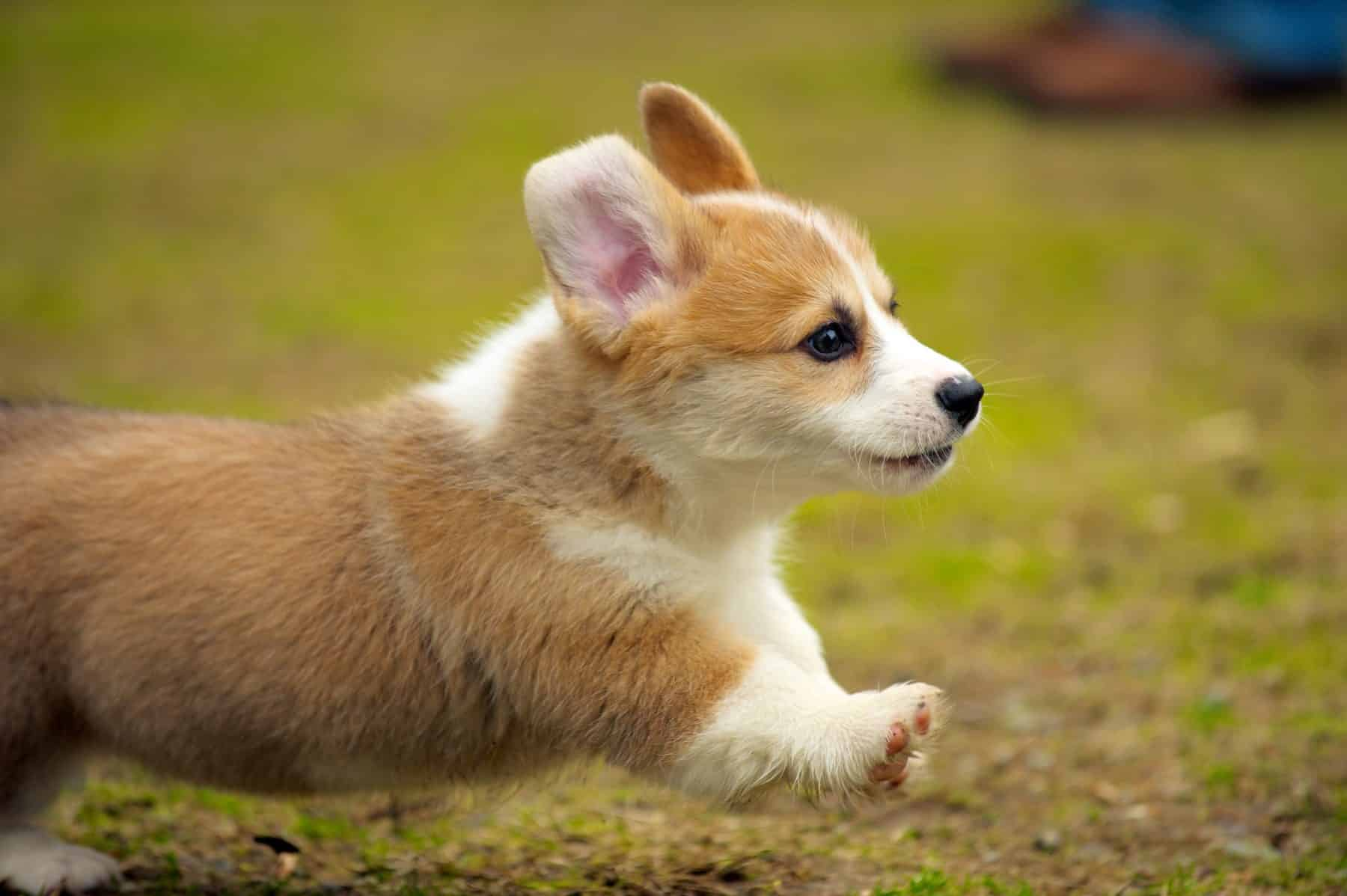 Corgi Puppies Puppy Breed Facts